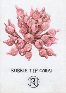 Bubble Tip Coral
