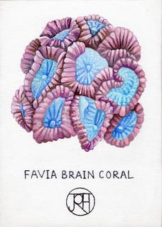 Favia Brain Coral