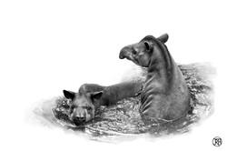 Swimming Tapirs