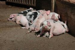 Piglets enjoying the Sun