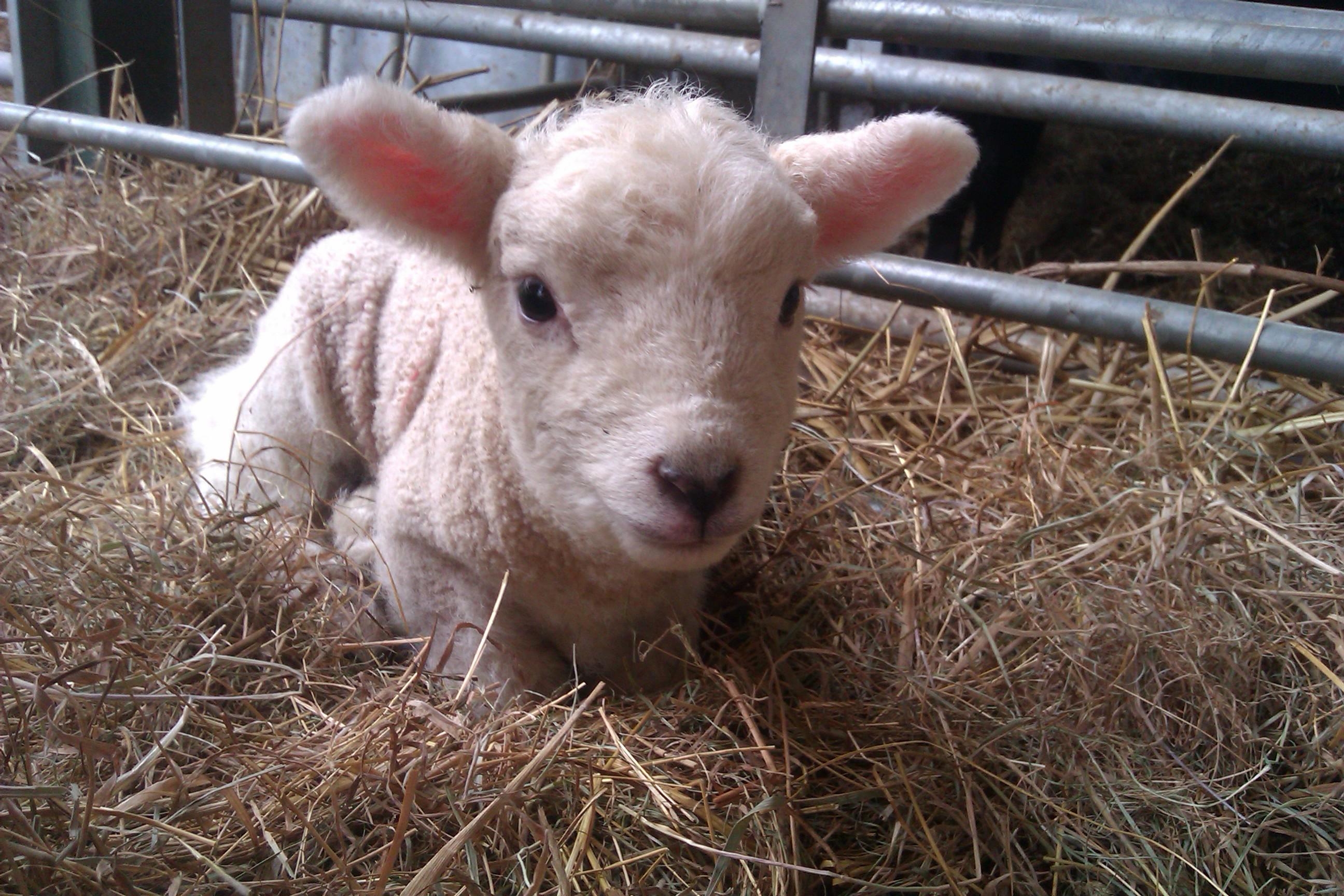 New Born Texel Lamb