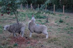 Plum picking sheep