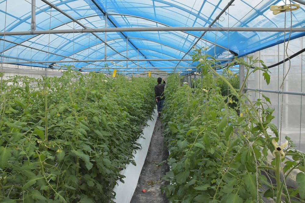 ゲラジョブセンター トマト