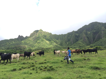 Cattle manure collection in Koolau