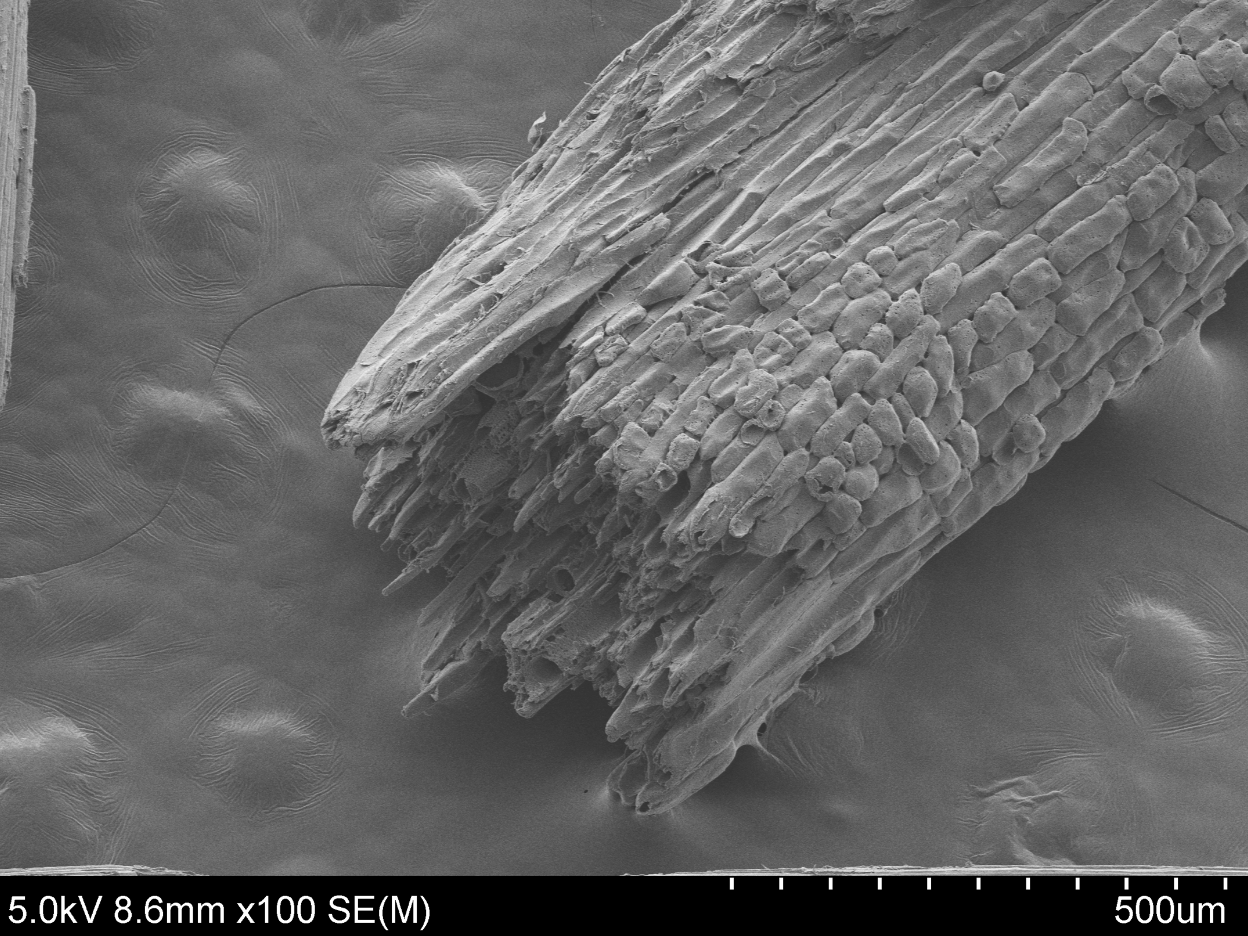SEM photo of grass