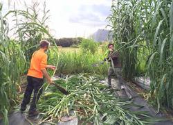 Harvesting napier grass
