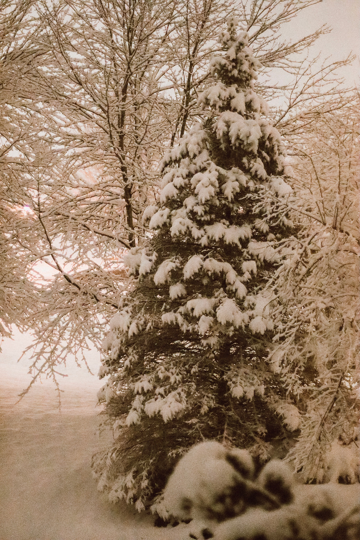 FRESH SNOW, SNOW ON TREES