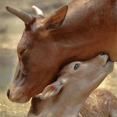 4 Cow Mother Loving baby.jpg