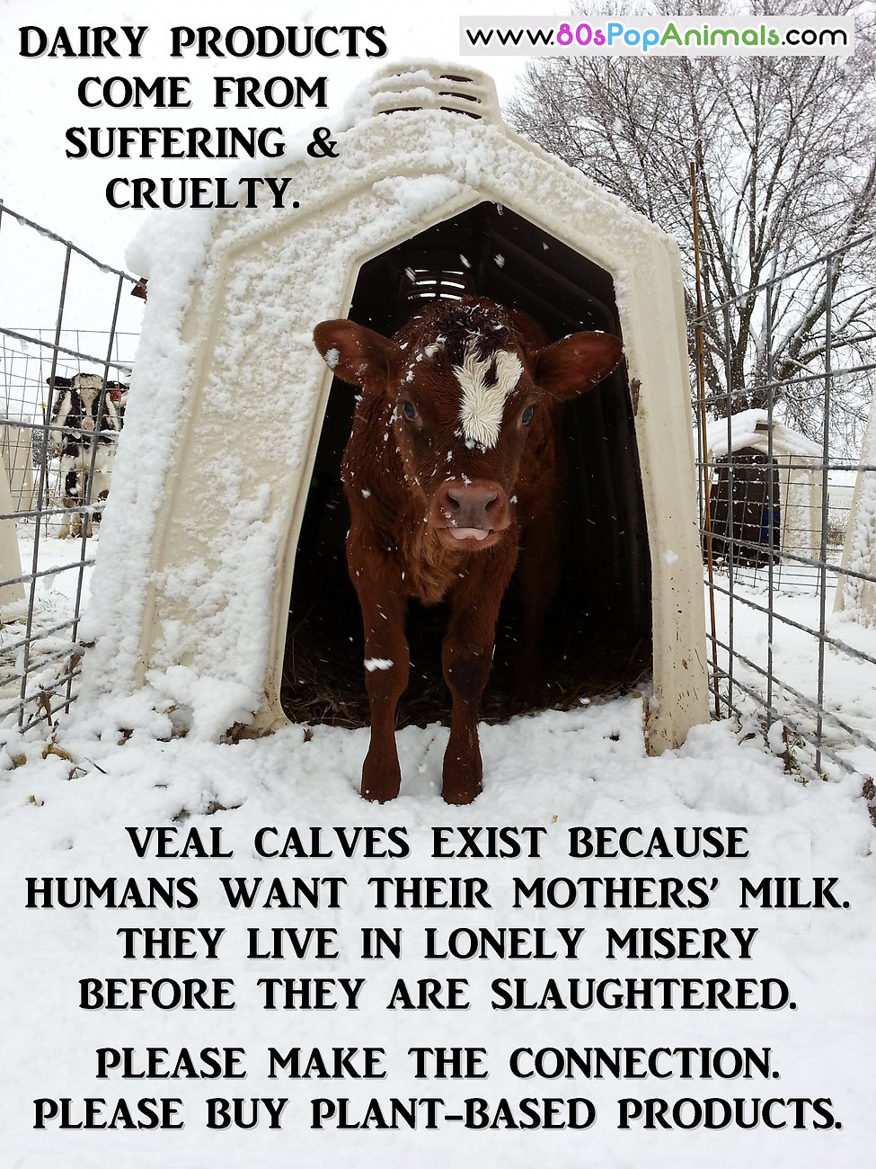Dairy Cruelty Suffering