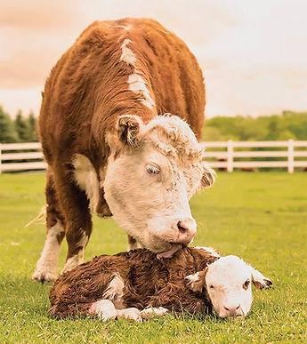 Cow Licks Calf