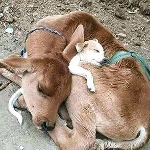 Calf & dog