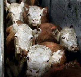 Cows for Slaughter