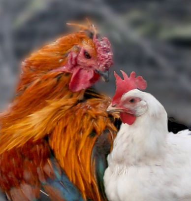 Rooster with Hen
