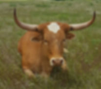 Cows Dehornng