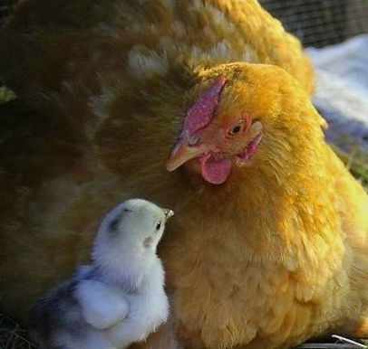 Mother hen with chick