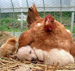 Hen & puppy