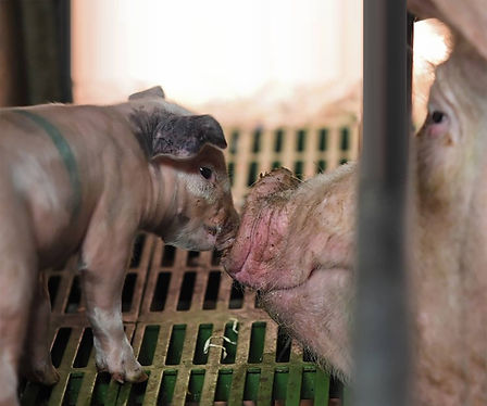 Pigs Mother & Baby Kissing.JPG