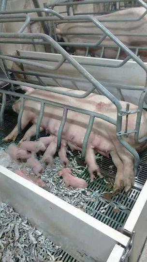 4 Pig & Piglets.JPG