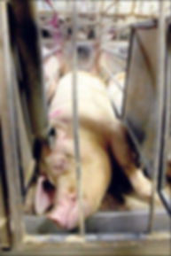 4 Pig Imprisoned.JPG