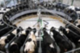 Cows factory farm