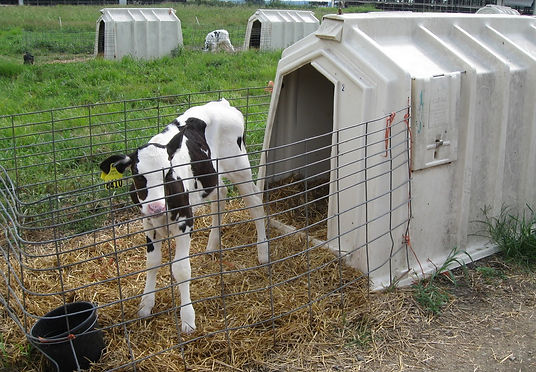 Veal Calf Dairy Industry