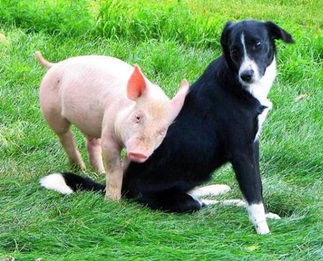 Pig Loves Dog