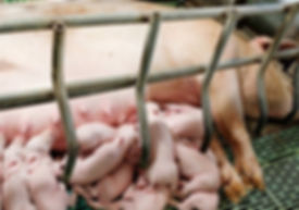 4 - Pigs - Mothers Don't Belong In Cages