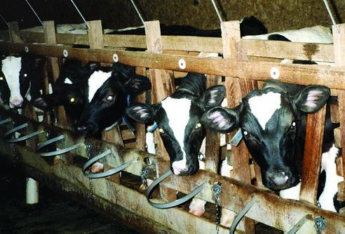 4 Calves in Wooden Crates.jpg