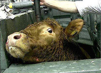 Cow at slaughterhouse