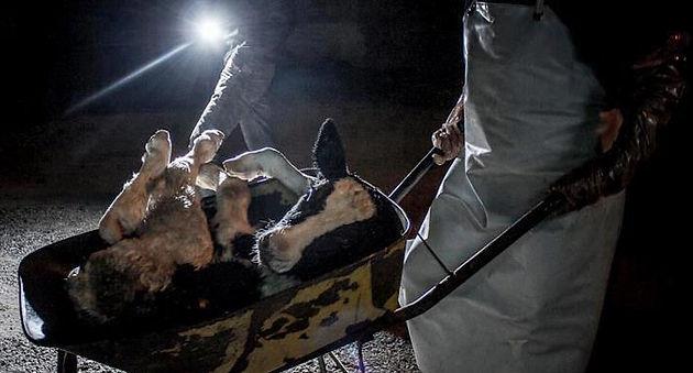 Veal Calf Taken in Wheelbarrow