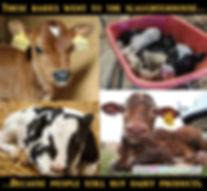 Dairy Male Calves
