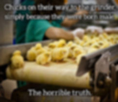 Male chicks are killed