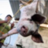 Pig Hanging