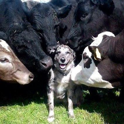 4 Cows & Dog.jpg