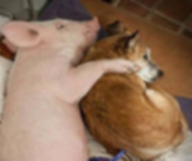 Pig & Dog Cuddling