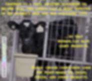 Dairy Industry Veal Calves