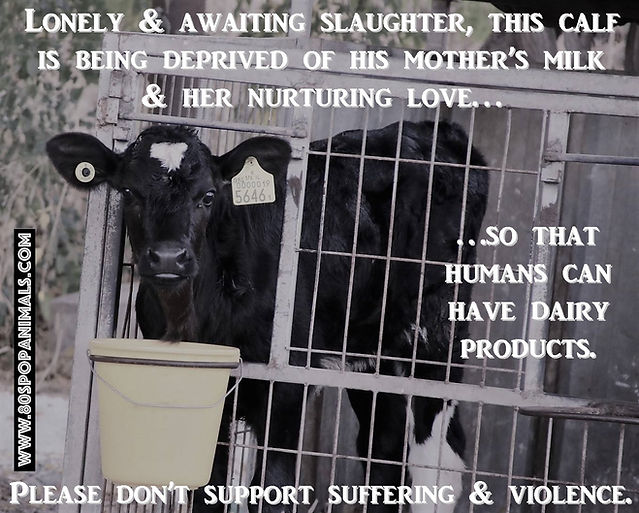Lonely & Awaiting Slaughter, This Calf Is Being Deprived Of His Mother's Milk...