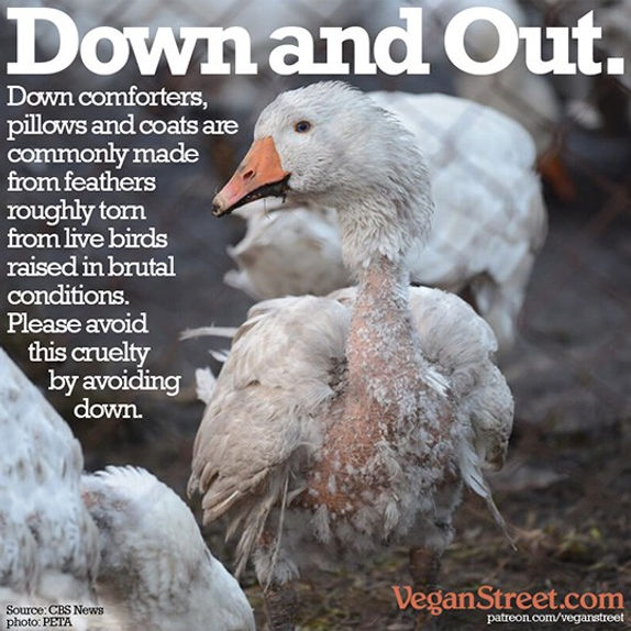 Feathers Down Animal Cruelty