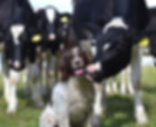 Cows with dog