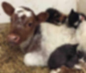 Calf and Kittens