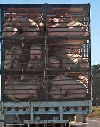 Pigs for Slaughter