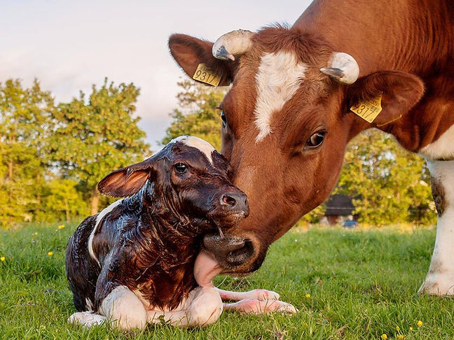 Mother cow loves calf