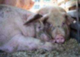 Miserable Pigs