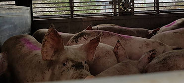 Pigs On Slaughter Trip