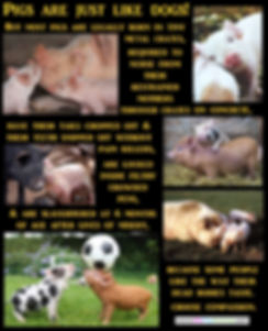 Pigs Dogs