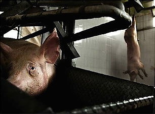 Pigs at slaughterhouse