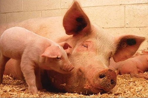 Mother & Baby Pig