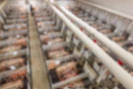 Pigs factory farm