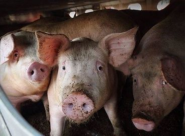 Terrified Pigs