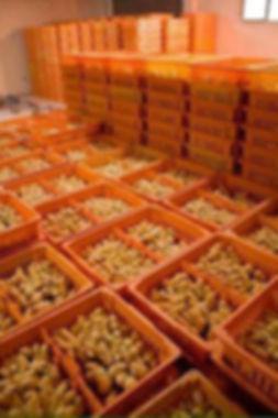 Chicks in Crates.jpg